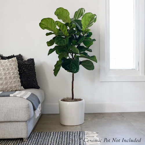 FICUS LYRATA STANDARD 'FIDDLE LEAF FIG' (L)