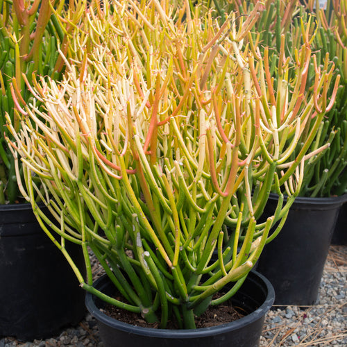 Euphorbia Sticks on Fire #5 Size