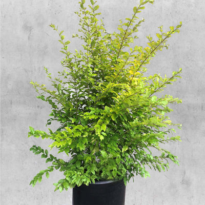 Ligustrum Sunshine #2 Size