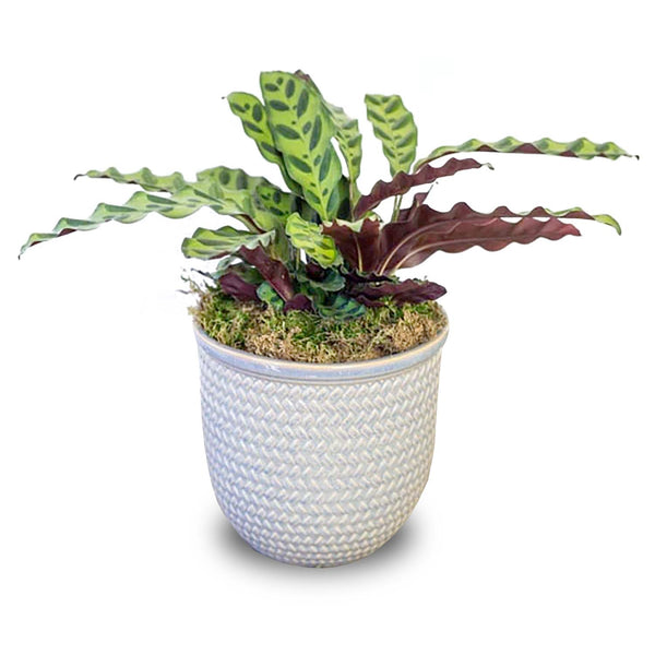 "6"" BASKET WEAVE GLAZED POT"