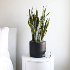 Sansevieria Laurentii Medium