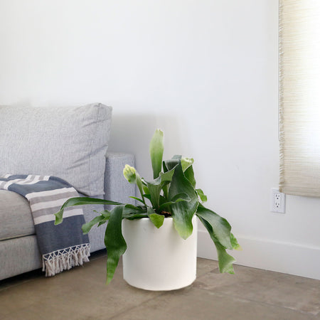 SPATHIPHYLLUM PEACE LILY MEDIUM