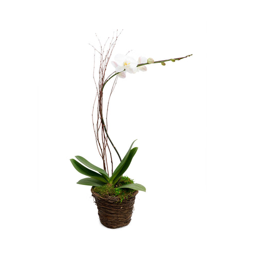 White Phalaenopsis in Twig Basket