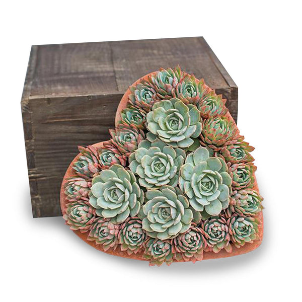 SUCCULENTS IN LG CLAY HEART
