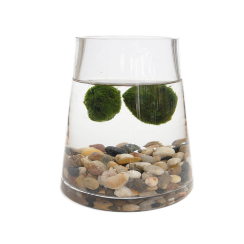 Marimo Ball In Large Pyramid Vase