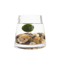 Marimo In Short Pyramid Vase