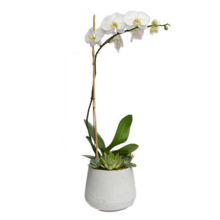Mini White Orchid & Shells in White Embossed Cache Pot