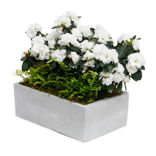 White Azaleas and Ferns in Rectangle Concrete Planter