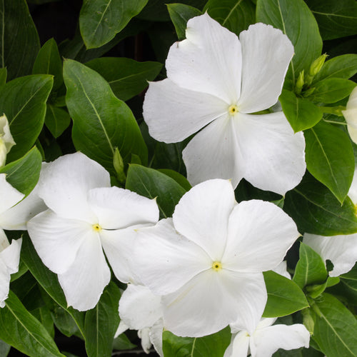 IMPATIENS NEW GUINEA WHITE 4 INCH POT