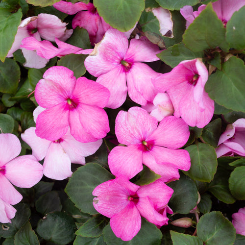 IMPATIENS NEW GUINEA PINK SHADES 4 INCH POT
