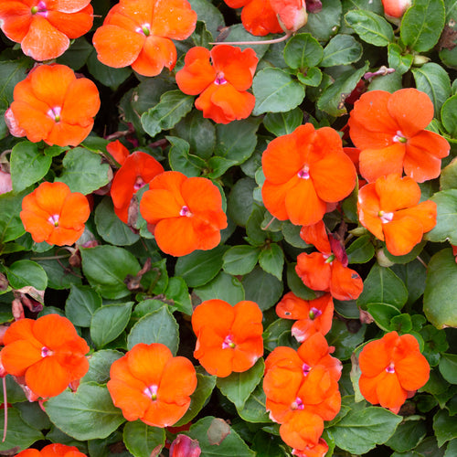 IMPATIENS NEW GUINEA ORNG SHADES 4 INCH POT