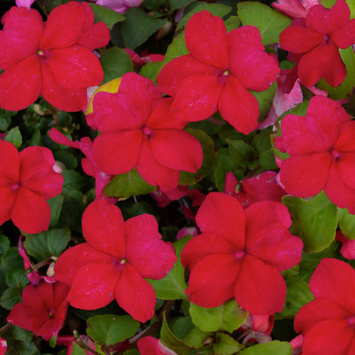 IMPATIENS NEW GUINEA RED SHADES 4 INCH POT