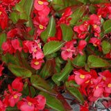 BEGONIAS RED SHADES GREEN LEAF 4 INCH POT