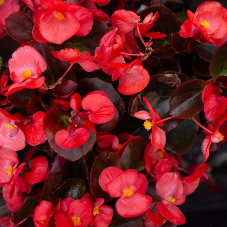 IMPATIENS REGULAR PINK SHADES 6PACK