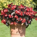 BEGONIAS RED SHADES BRONZE LEAF 4 INCH POT