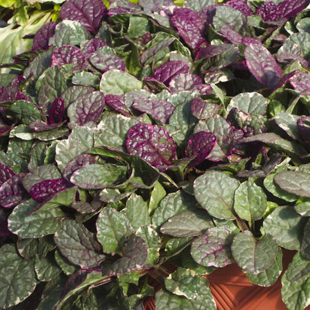 COLEUS MIXED COLORS 4 INCH POT