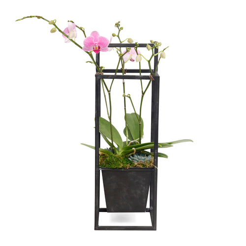 Mini Pink Orchids in Black Metal Planter