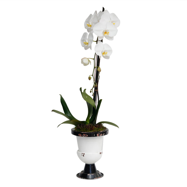 Large White Orchid In Black And White Enamel Urn