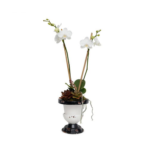 Mini White Orchid In Black And White Enamel Urn