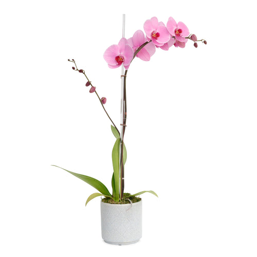 Pink Orchid in Mod Diamond Cache Pot