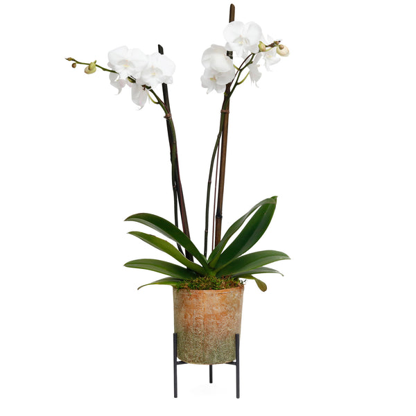 Lg. White Orchid In Redstone Pot With Stand
