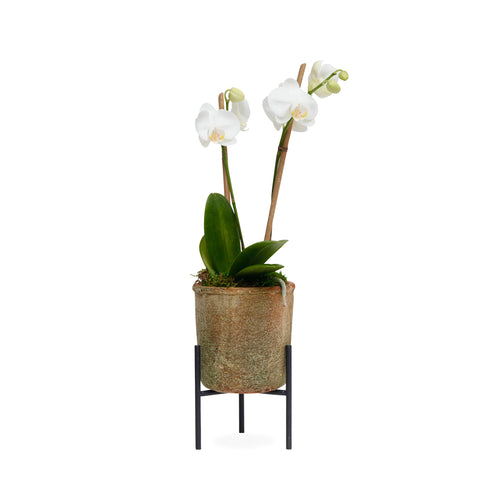 Sm. White Orchid In Redstone Pot With Stand