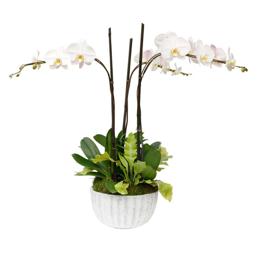 White Phalenopsis Orchids and Foliage in Scored White Bowl