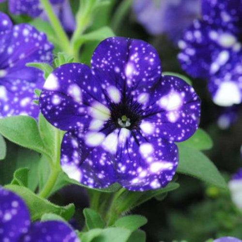 PETUNIAS NIGHT SKY 4 INCH POT