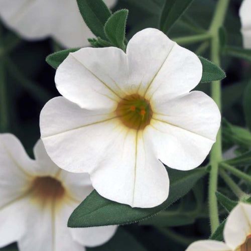 CALIBRACHOA WHITE 4 INCH POT
