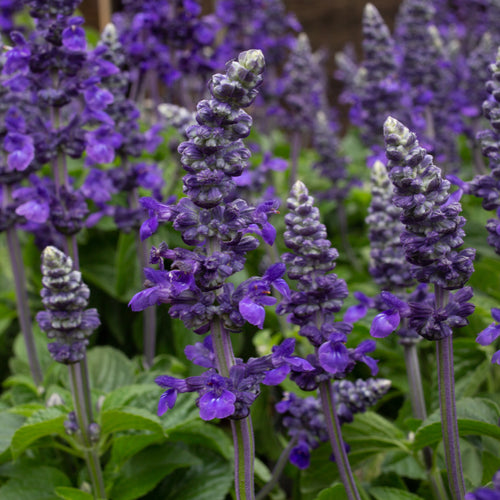 SALVIA BLUES BLUE PURPLE SHADES 4 INCH POT