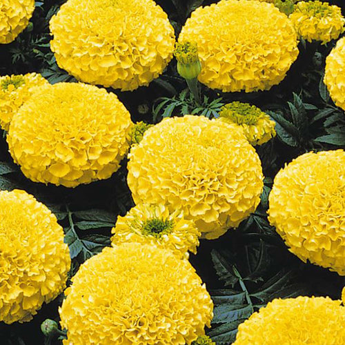 MARIGOLDS YLW SHADES 4 INCH POT