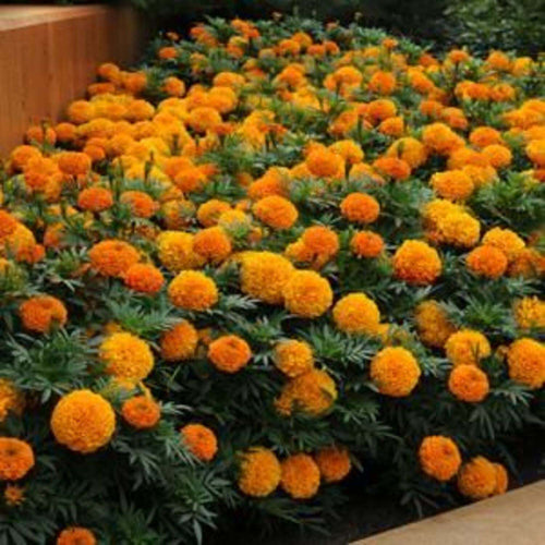 MARIGOLDS ORANGE SHADES 4 INCH POT