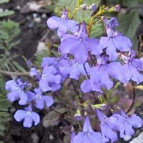LOBELIA BLUE SHADES 6PK