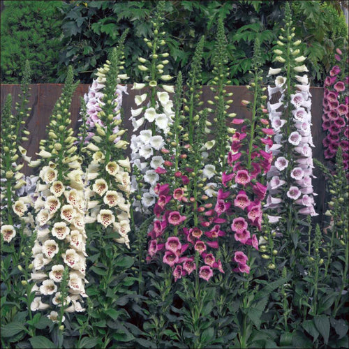 FOXGLOVE MIX PINK LILAC WHITE AND PASTEL SHADES 4 INCH POT