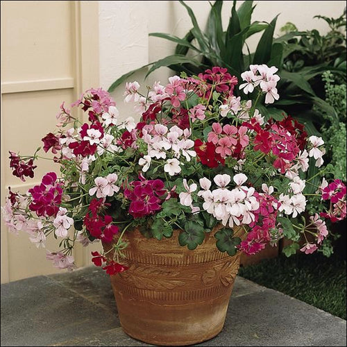 GERANIUM IVY MIX TRAILING 4 INCH POT