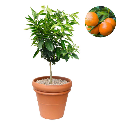Dwarf Clementine Orange Citrus Tree In Rim Clay Pot
