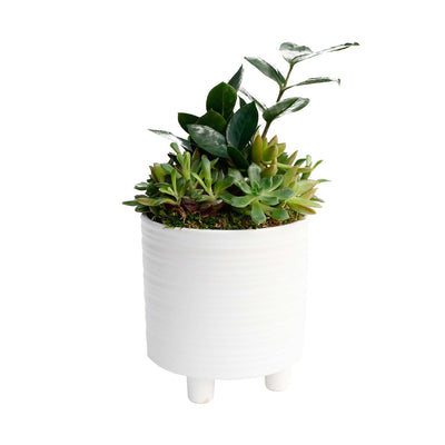 ZZ  In Small Footed White Pot
