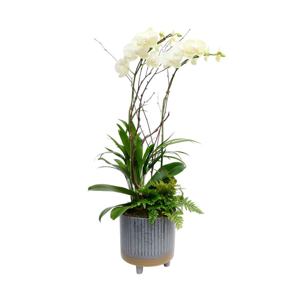Fall Orchid In Large Grey Footed Pot