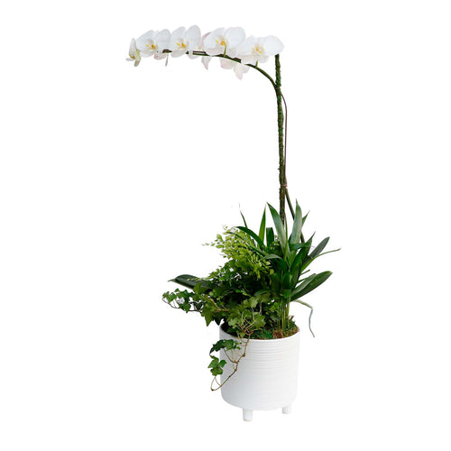 Orchid & Greens In White Footed Pot