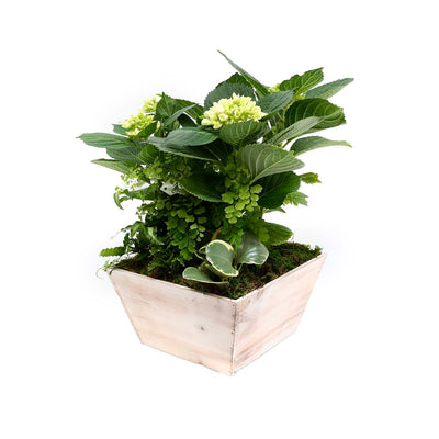 White Hydrangea And Ferns In Whitewashed Wood Box
