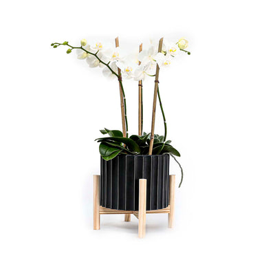 Mini White Orchids In Small Black Planter With Wood