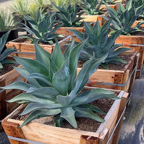 Agave Blue Flame #5 Size