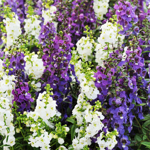 Angelonia Assorted #1 Size