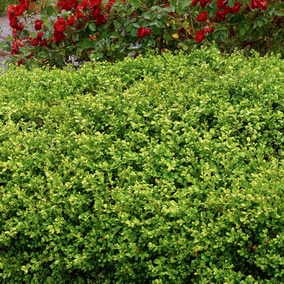 Boxwood Green Beauty #5 Size
