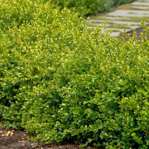 BOXWOOD WINTER GEM #1 SIZE