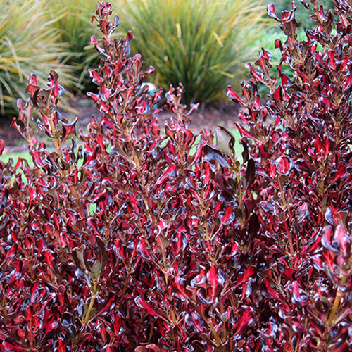 Coprosma 'Pacific Sunset' #2