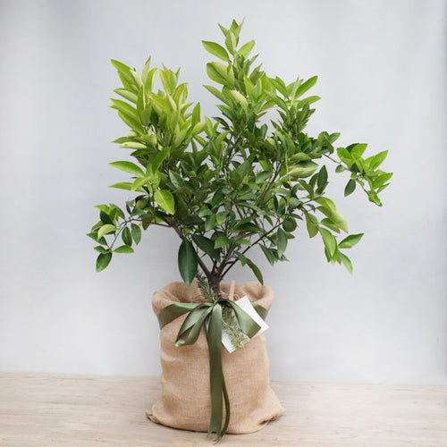 GIFTABLE DWARF LEMON OR LIME