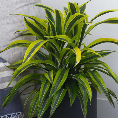 Dracaena Lemon Lime without Pot - Large