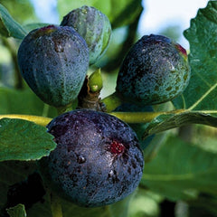 Fig 'Black Jack' #5 Size