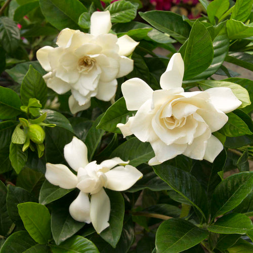 GARDENIA MYSTERY PATIO TREE #5 SIZE